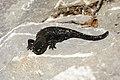 Salamandra atra Bizau 02.jpg