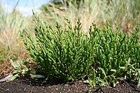 Salicornia europaea MS 0802.JPG