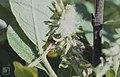 Salix cinera female catkin common sallow Taffs Well 30 05 66 (30986585016).jpg