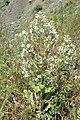 Salvia aethiopis kz01.jpg