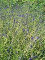 Salvia coahuilensis BotGardBln07122011E.JPG