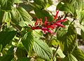 Salvia elegans (6345454975).jpg