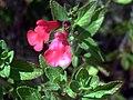 Salvia grahamii DehesaBoyalFlowerscloseup.jpg