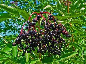 Sambucus nigra, Adoxaceae, Elder, Elderberry, ...
