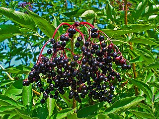 Baza čierna - plody