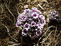 Sand Plant - Pholisma arenarium.jpg