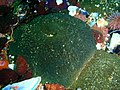 Sandy sea anemones at Partridge Point P7190549.JPG
