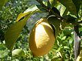 Sant'Angelo di Brolo, Sicile, citron local.jpg