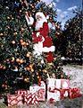 Santa Claus picking oranges (8280151165).jpg