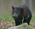 Sarcophilus harrisii -Healesville Sanctuary-8a.jpg