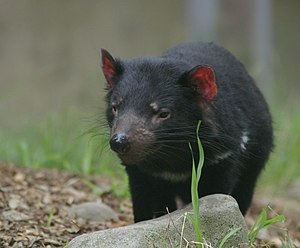 A devil with red ears and white patches under its neck, is standing on some bark chips, in front of some grass and behind a rock of the size of its body.