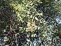 Savadora persica-BSI-jodhpur-India.JPG