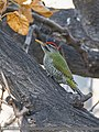 Scaly-bellied Woodpecker (Picus squamatus) (32652279132).jpg