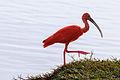 Scarlet Ibis - Corocoro Colorado (Eudocimus ruber) (12462385423).jpg