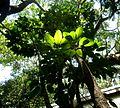 Schefflera actinophylla, habitus, Manie van der Schijff BT.jpg