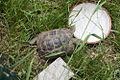 Schildkröte 21.jpg