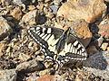 Schwalbenschwanz, Papilio machaon Kaltenberghütte.JPG