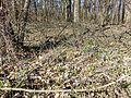 Scilla drunensis sl47.jpg