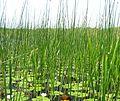 Scirpetum lacustris.jpg