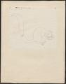 Sciurus spec. - 1700-1880 - Print - Iconographia Zoologica - Special Collections University of Amsterdam - UBA01 IZ20400079.tif