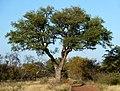 Sclerocarya birrea, habitus, Steenbokpan, c.jpg