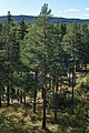 Scots Pine (Pinus sylvestris) - Oslo, Norway 2020-08-24.jpg