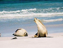Two Australian sea lions on a beach