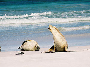 Nuyts Archipelago - …as well as Australian sea lions