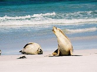 Australian sea lion - An Australian sea lion vocalizing.