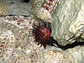 Sea urchin (3768312896).jpg