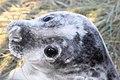 Seal - Donna Nook December 2009 (4195068469).jpg
