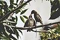Secuencia de gorriones comiendo - 02.jpg