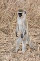 Serengeti Suedliche Gruenmeerkatze.jpg