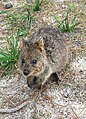 Setonix brachyurus on Rottnest Island 1.jpg