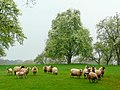 Sheep in the orchard - geograph.org.uk - 1253892.jpg