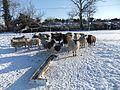 Sheep in the snow - panoramio.jpg