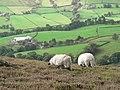 Sheep on High Blakey Moor - geograph.org.uk - 73730.jpg