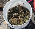 Shore crabs in a bucket.jpg