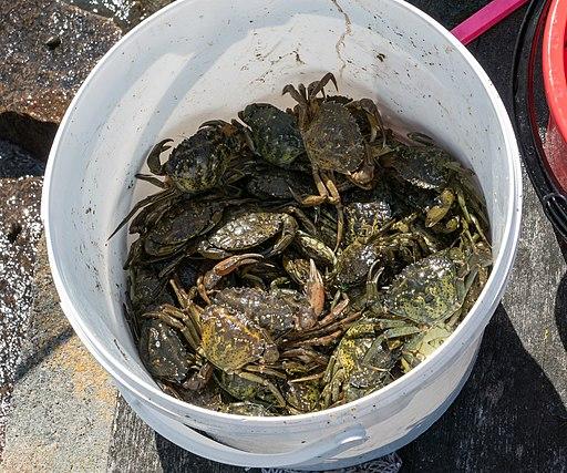Shore crabs in a bucket