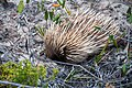 Short-beaked echidna Tachyglossus aculeatus multiaculeatus (8260119626).jpg