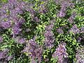 Shrub with purple flowers - 1.jpg
