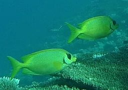 Blue-spotted spinefoot or coral rabbitfish (Siganus corallinus)