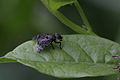 Signal fly (Diptera- Platytomatidae ) (9528248089).jpg