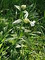 Silene-vulgaris-1000242.JPG