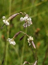 Silene nutans (flowers).jpg