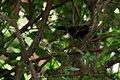 Silver-beaked Tanager (Ramphocelus bresilius) (3419493829).jpg