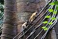 Silvered Leaf Monkey Presbytis cristata Trachypithecus cristatus at Bronx Zoo 2.jpg