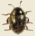 Simplocaria semistriata, Dinlle, North Wales, May 2014 (23486958096).jpg