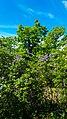 Sirenbuskar i Fredriksberg, Nacka.jpg