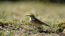 Slender-billed Miner (Geositta tenuirostris) from side.jpg
